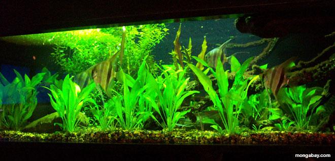 Freshwater fish pictures for Amazon aquarium fish