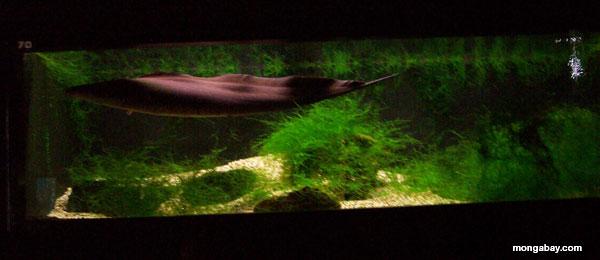 Brown Knifefish