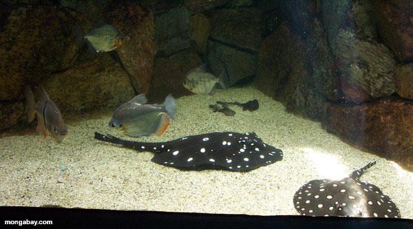 Freshwater Stingray Piranha
