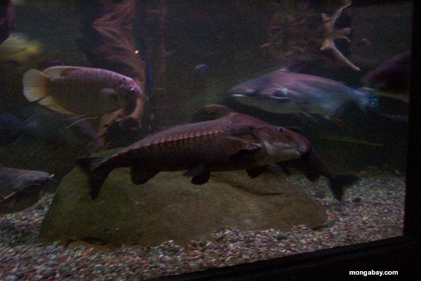 Giant Amazon Catfish